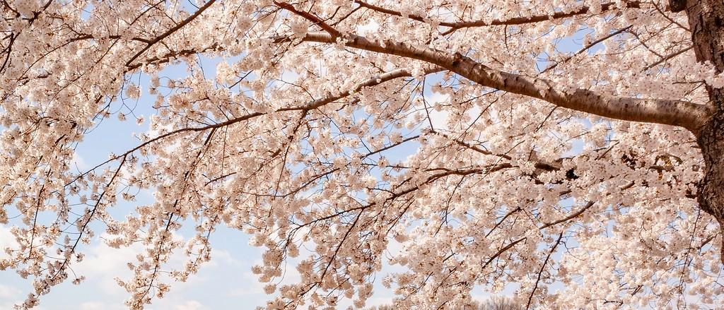 华盛顿樱花节,怒放的樱花_图1-8
