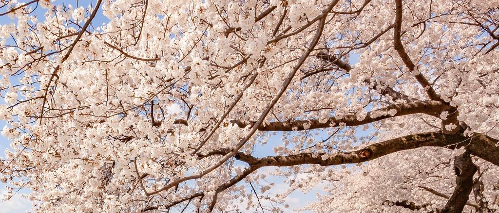 华盛顿樱花节,怒放的樱花_图1-16