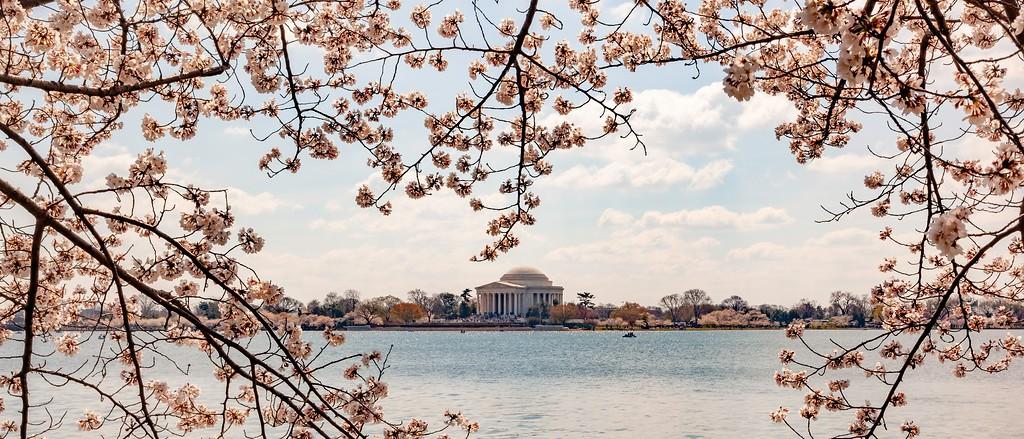 华盛顿樱花节,怒放的樱花_图1-15