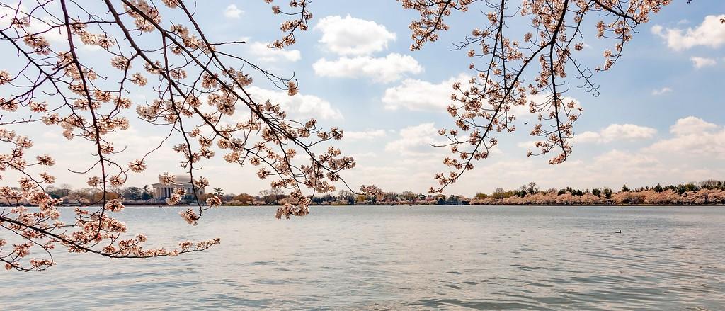 华盛顿樱花节,怒放的樱花_图1-14