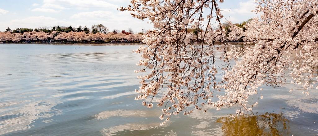 华盛顿樱花节,怒放的樱花_图1-13