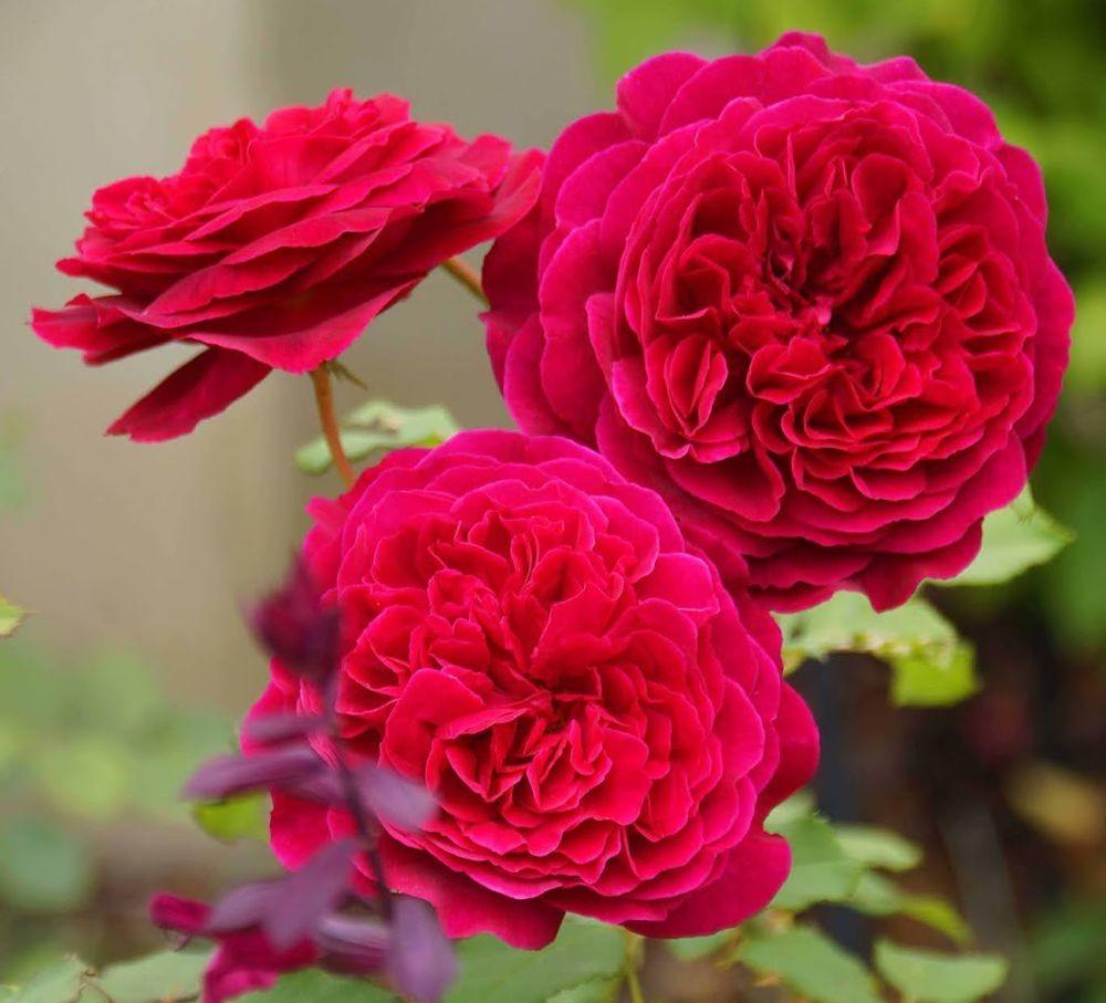 五月玫瑰_图1-1