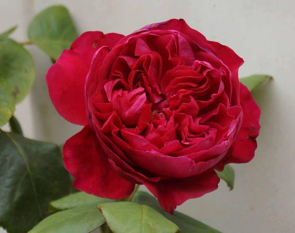五月玫瑰_图1-3