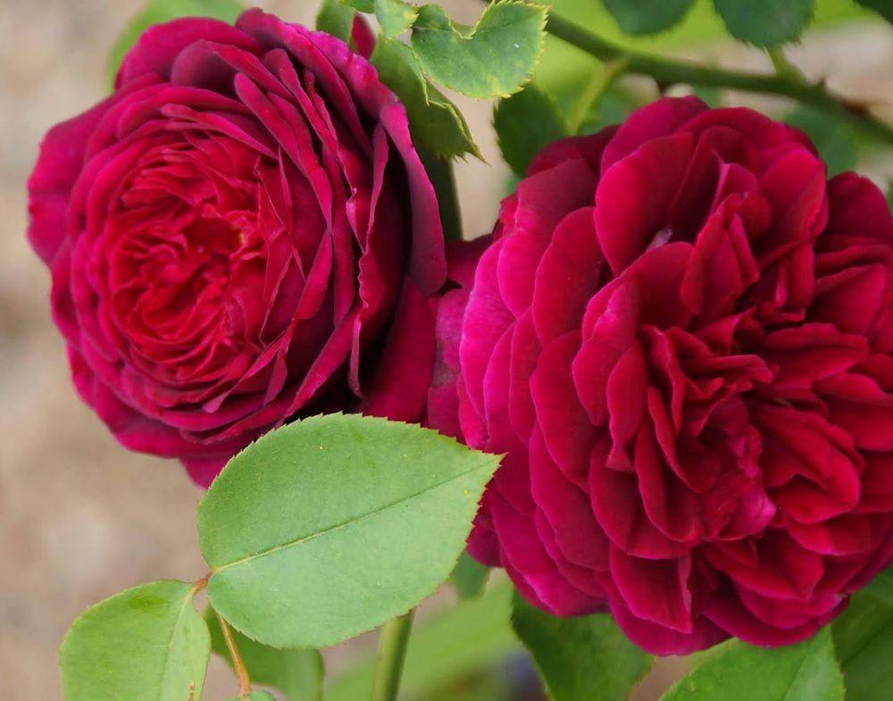 五月玫瑰_图1-4