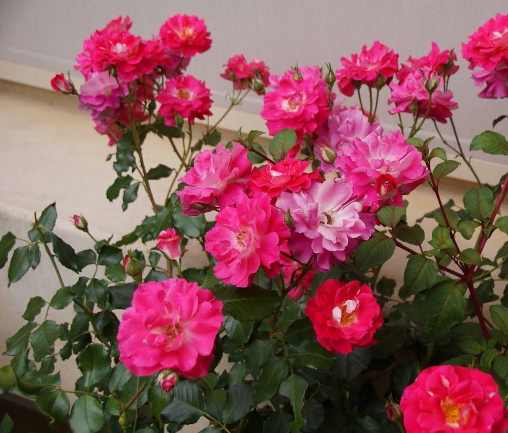 五月玫瑰_图1-23