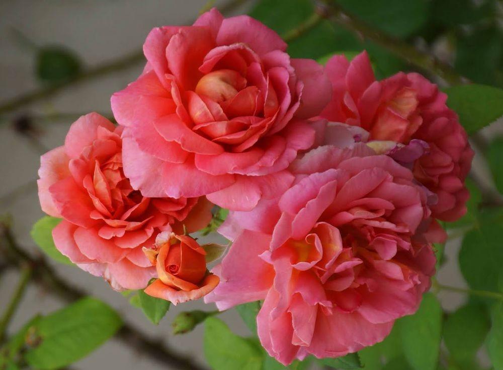 五月玫瑰_图1-24