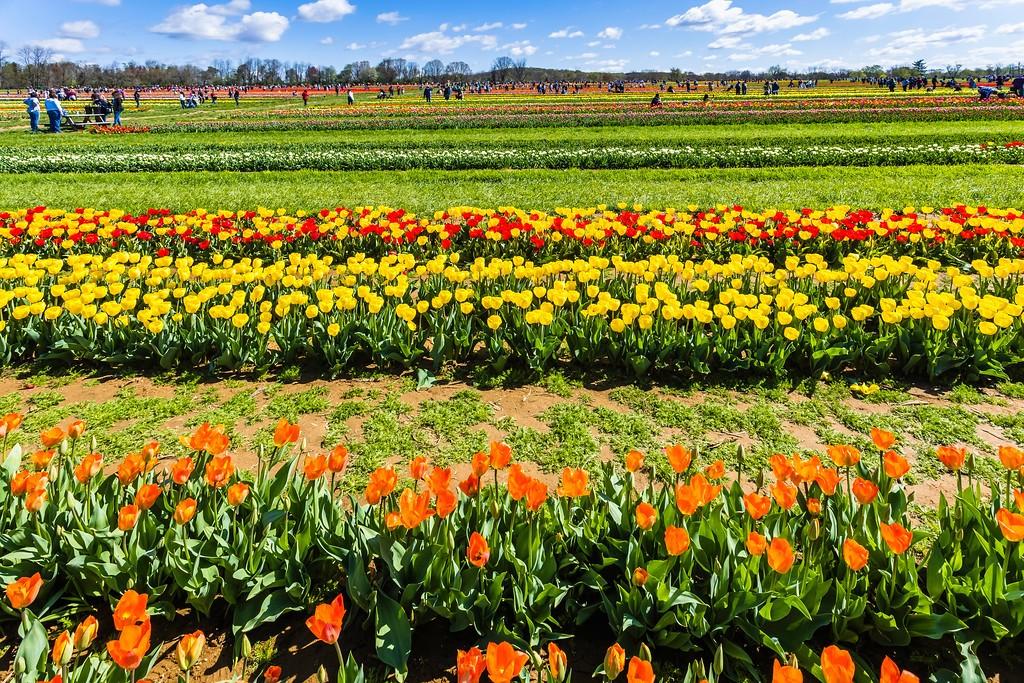 荷兰岭农场(Holland Ridge Farms, NJ),怒放的郁金香_图1-1