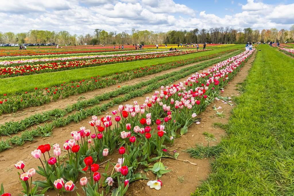 荷兰岭农场(Holland Ridge Farms, NJ),怒放的郁金香_图1-9
