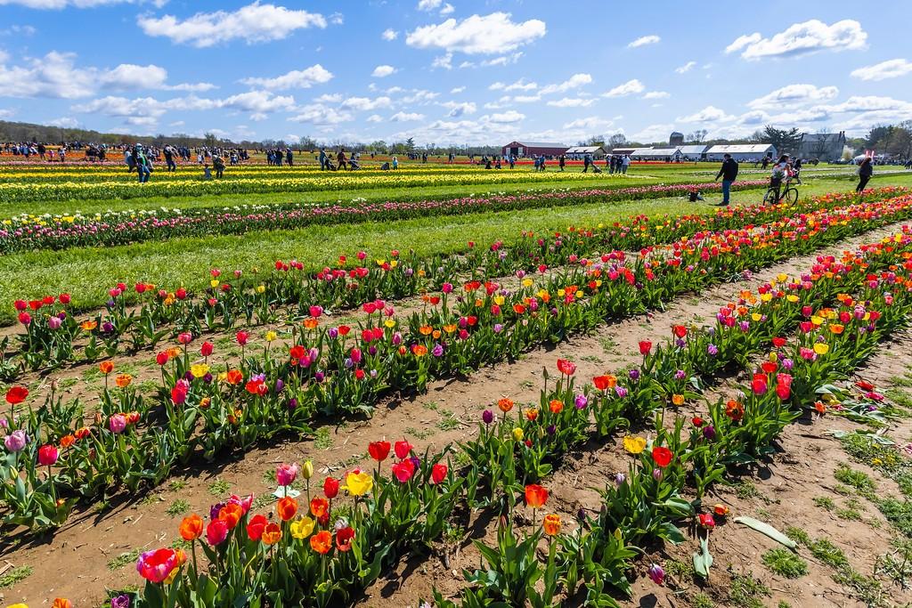 荷兰岭农场(Holland Ridge Farms, NJ),怒放的郁金香_图1-2
