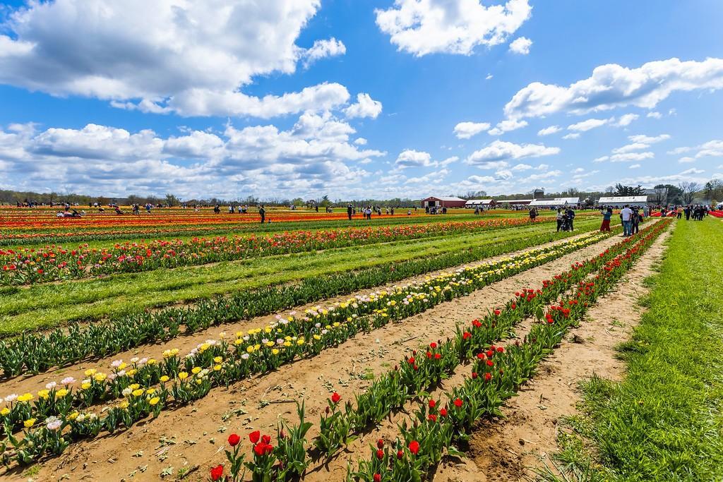 荷兰岭农场(Holland Ridge Farms, NJ),怒放的郁金香_图1-4