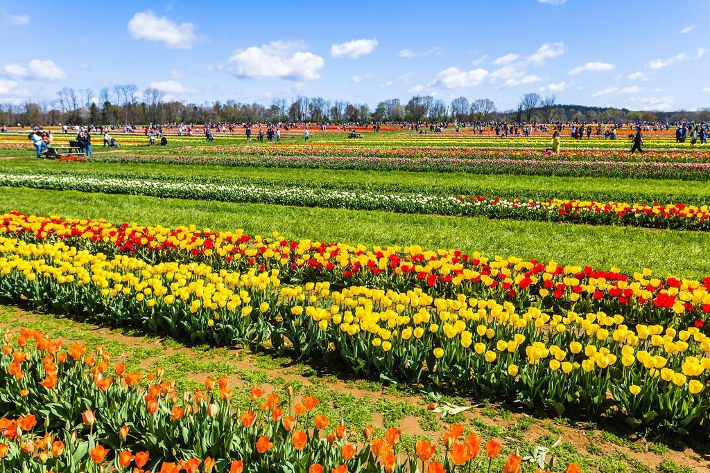 荷兰岭农场(Holland Ridge Farms, NJ),怒放的郁金香_图1-3