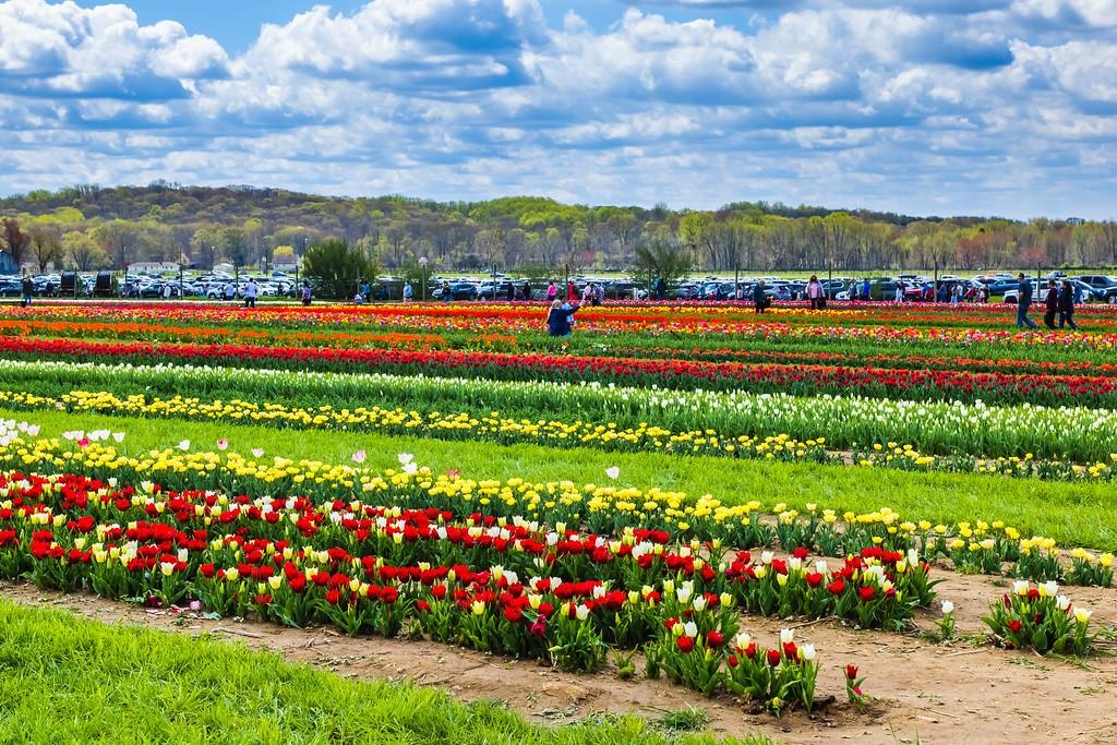 荷兰岭农场(Holland Ridge Farms, NJ),怒放的郁金香_图1-5