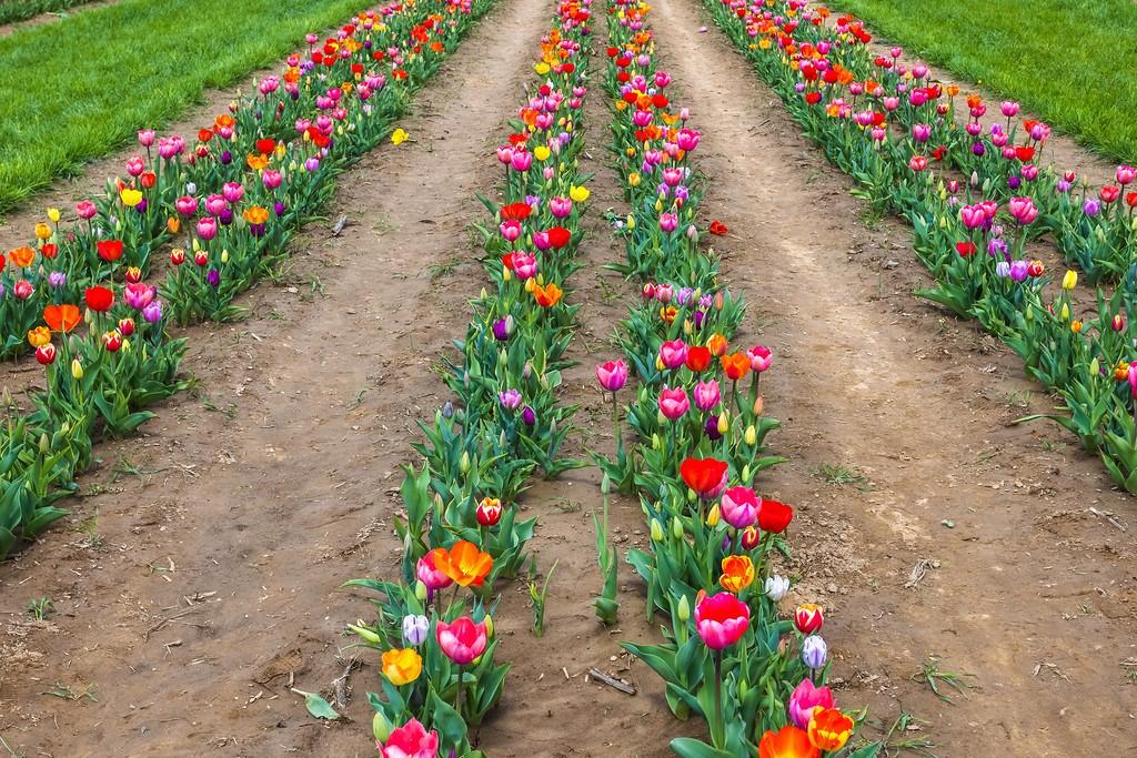 荷兰岭农场(Holland Ridge Farms, NJ),怒放的郁金香_图1-6