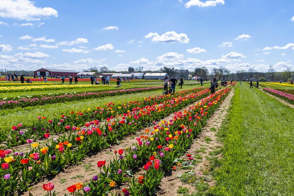 荷兰岭农场(Holland Ridge Farms, NJ),怒放的郁金香_图1-7