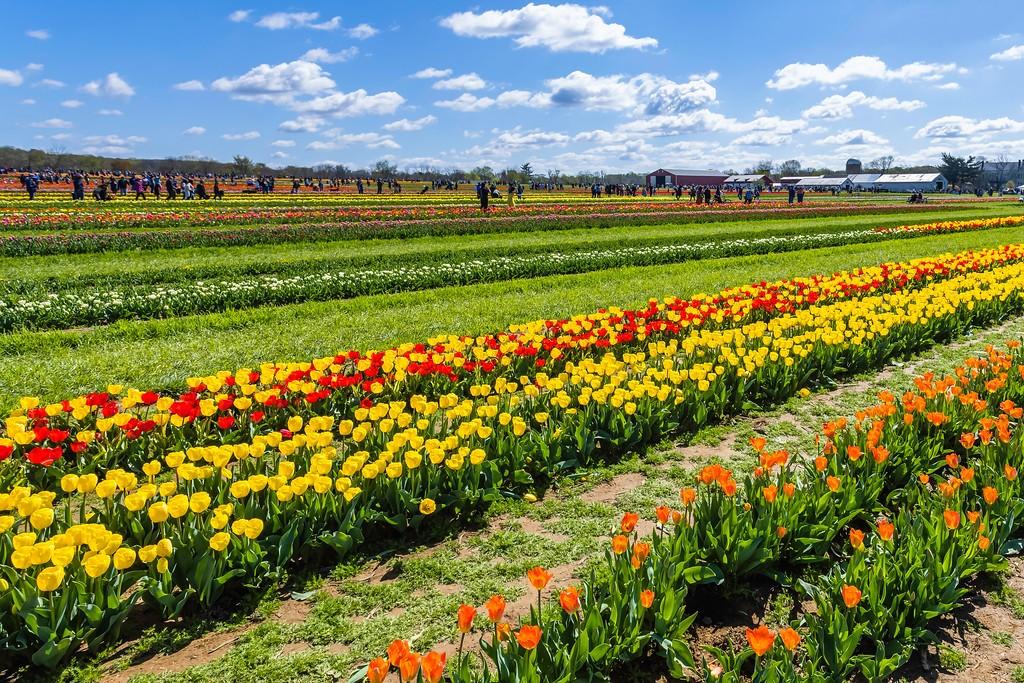 荷兰岭农场(Holland Ridge Farms, NJ),怒放的郁金香_图1-8
