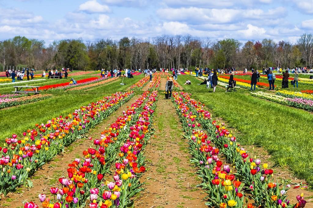 荷兰岭农场(Holland Ridge Farms, NJ),怒放的郁金香_图1-13