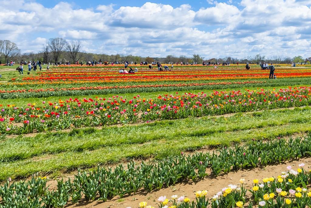 荷兰岭农场(Holland Ridge Farms, NJ),怒放的郁金香_图1-15