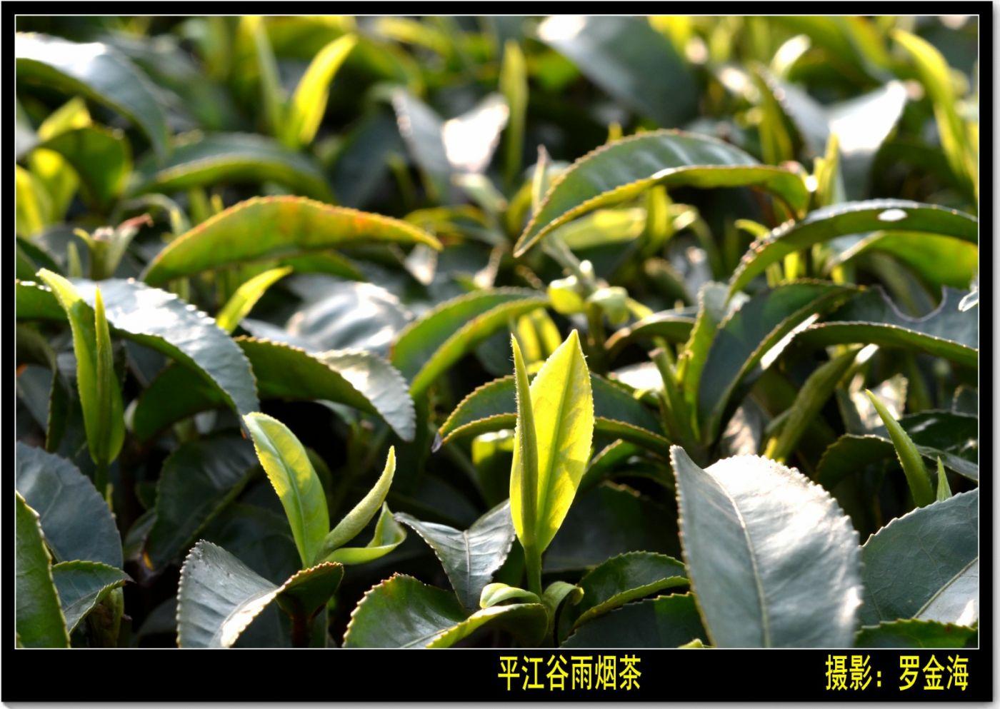 平江烟茶赋(古典诗词)_图1-5