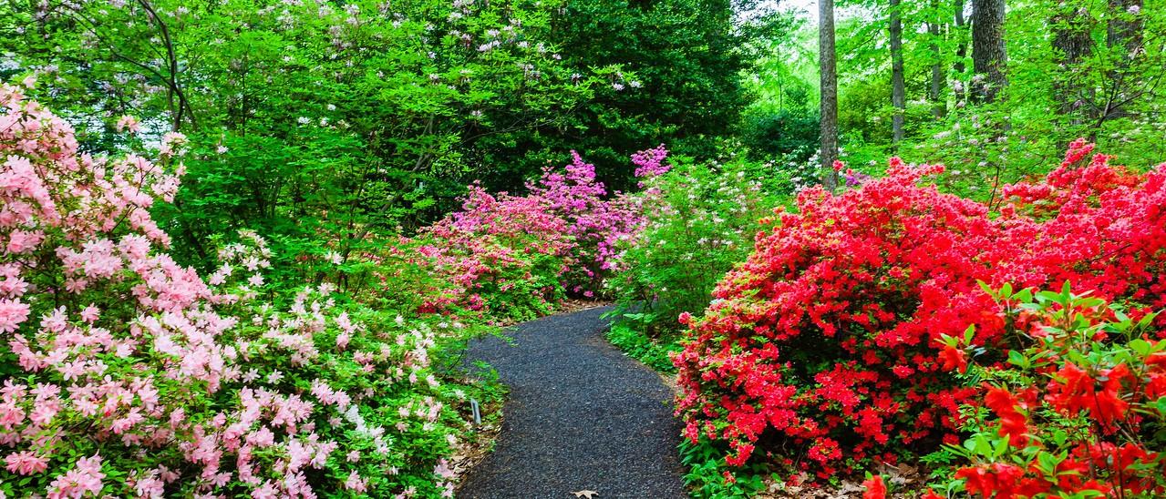 滨州詹金斯植物园(Jenkins Arboretum),杜鹃花开满园_图1-8
