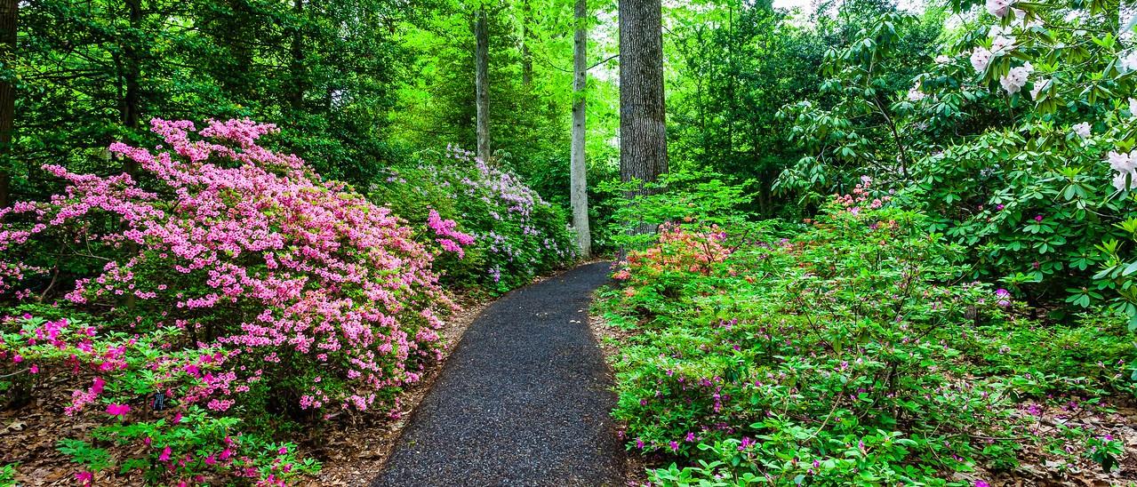 滨州詹金斯植物园(Jenkins Arboretum),杜鹃花开满园_图1-5