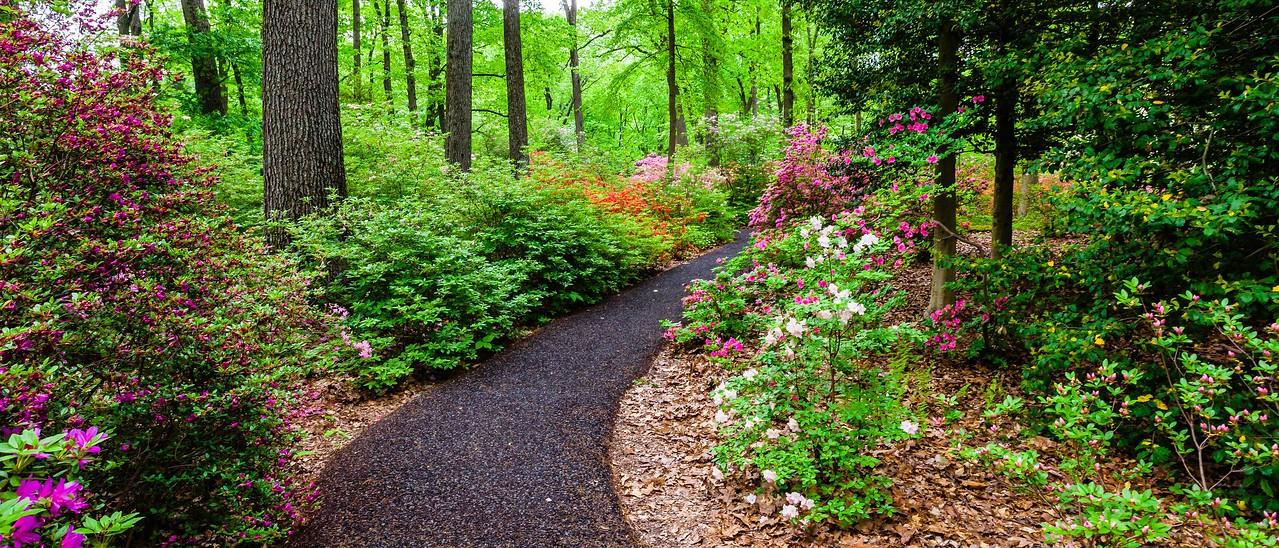 滨州詹金斯植物园(Jenkins Arboretum),杜鹃花开满园_图1-3