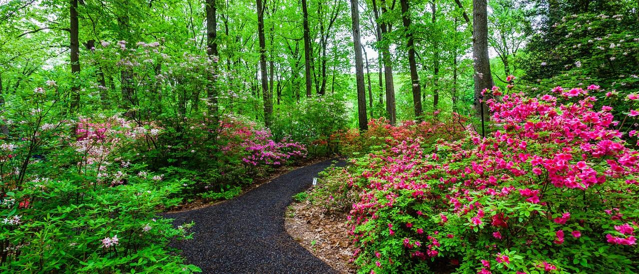 滨州詹金斯植物园(Jenkins Arboretum),杜鹃花开满园_图1-2