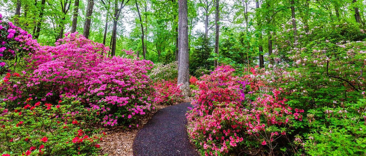 滨州詹金斯植物园(Jenkins Arboretum),杜鹃花开满园_图1-1