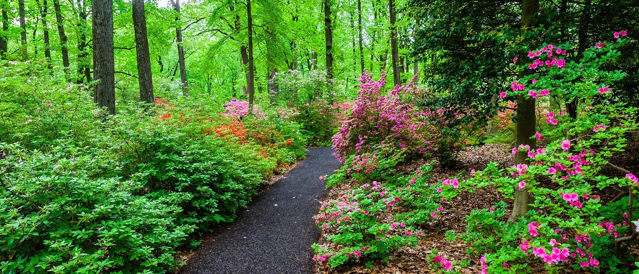 滨州詹金斯植物园(Jenkins Arboretum),杜鹃花开满园_图1-6