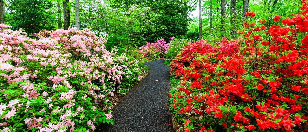 滨州詹金斯植物园(Jenkins Arboretum),杜鹃花开满园_图1-4