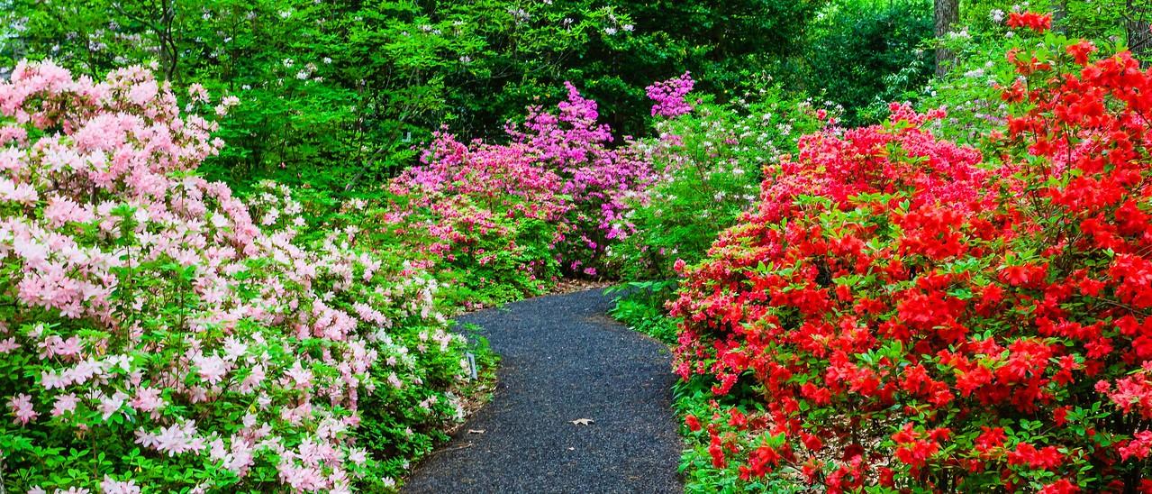 滨州詹金斯植物园(Jenkins Arboretum),杜鹃花开满园_图1-9