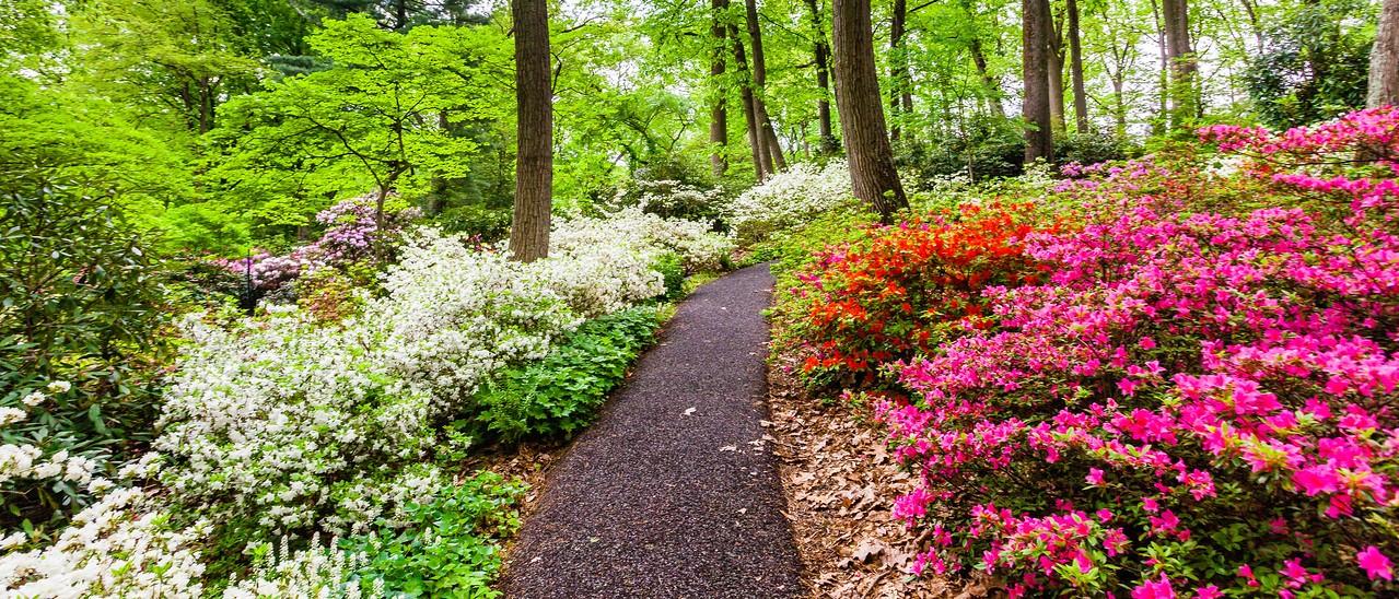 滨州詹金斯植物园(Jenkins Arboretum),杜鹃花开满园_图1-10