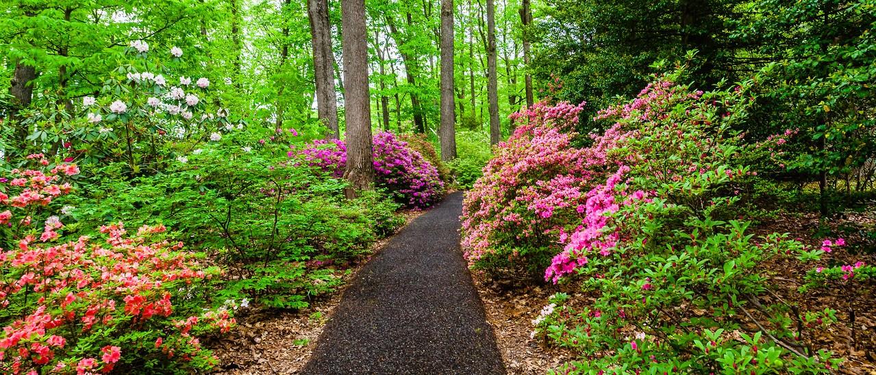 滨州詹金斯植物园(Jenkins Arboretum),杜鹃花开满园_图1-12