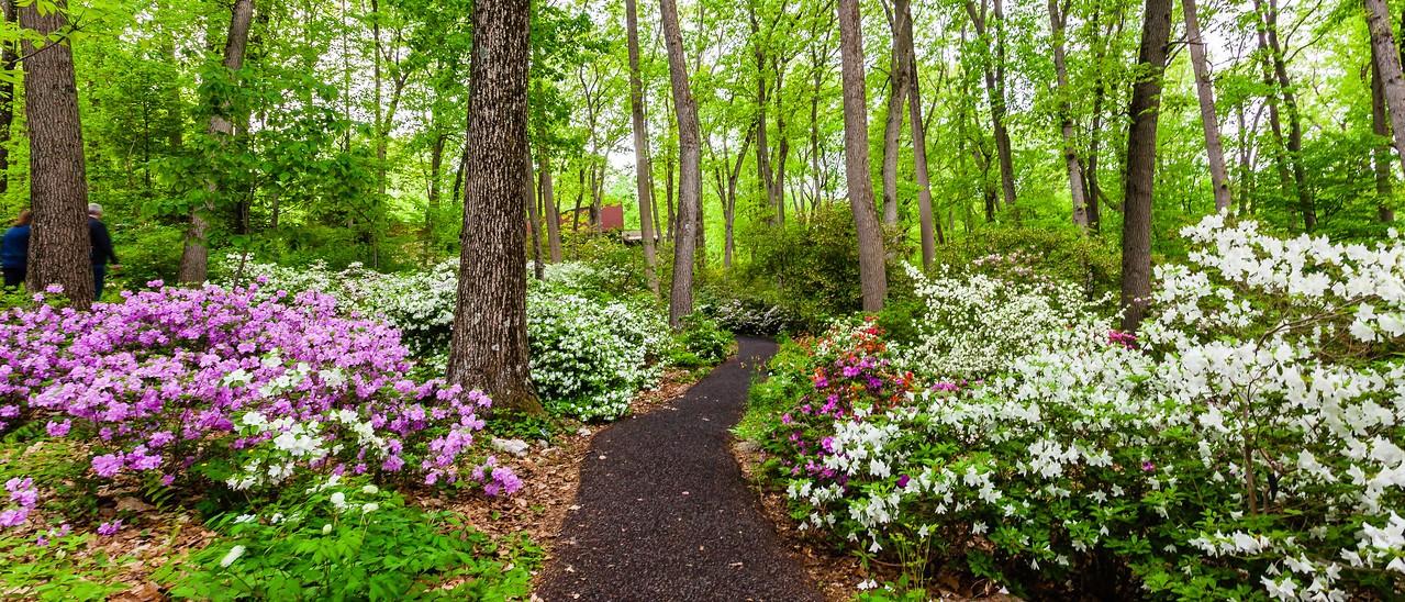 滨州詹金斯植物园(Jenkins Arboretum),杜鹃花开满园_图1-16