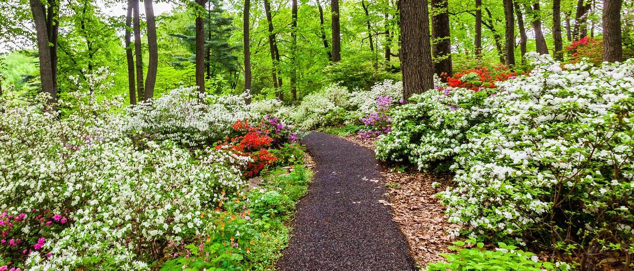 滨州詹金斯植物园(Jenkins Arboretum),杜鹃花开满园_图1-15