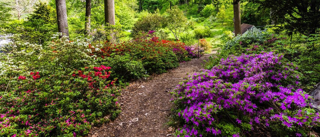 滨州詹金斯植物园(Jenkins Arboretum),杜鹃花开满园_图1-14