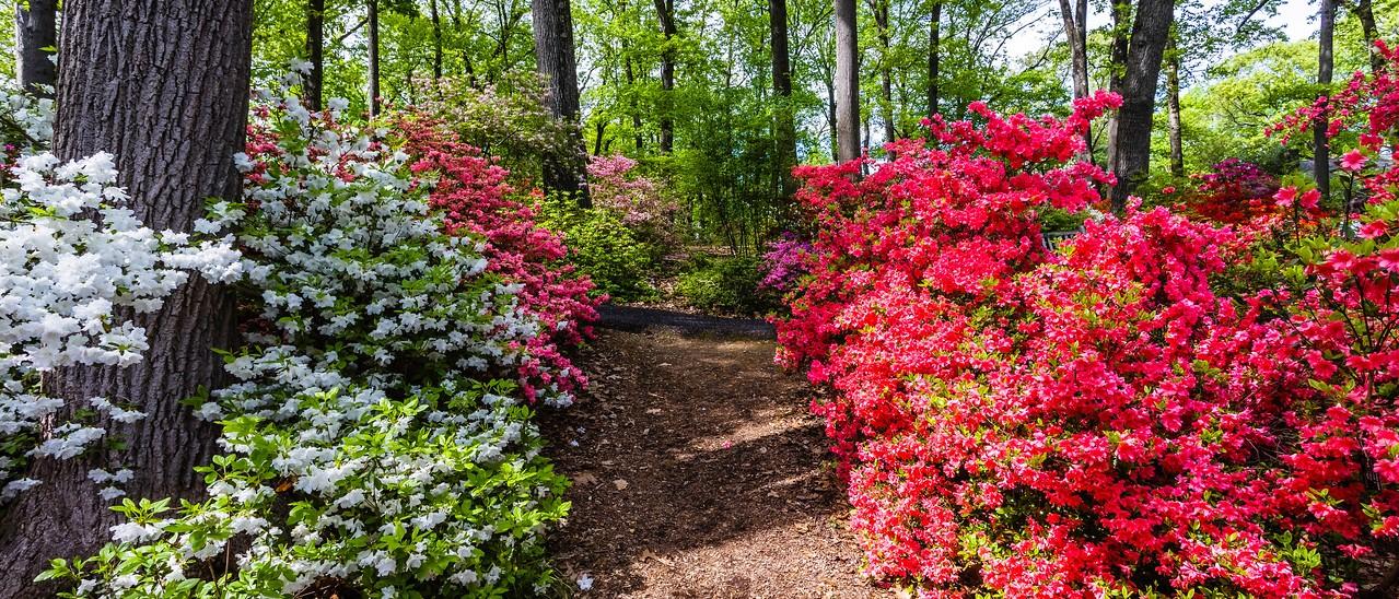 滨州詹金斯植物园(Jenkins Arboretum),杜鹃花开满园_图1-13