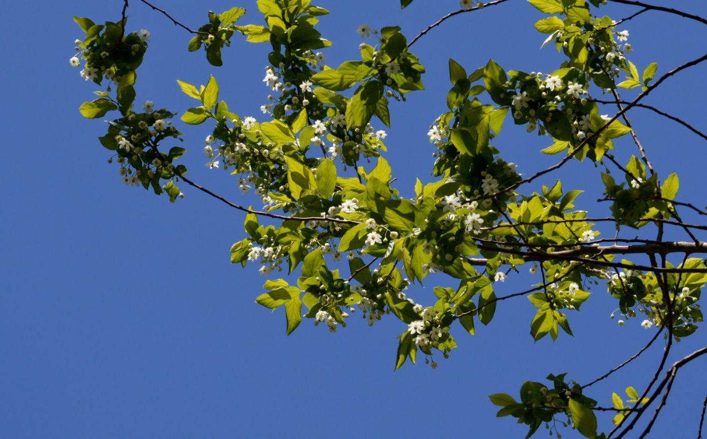 濒危植物秤锤树_图1-15