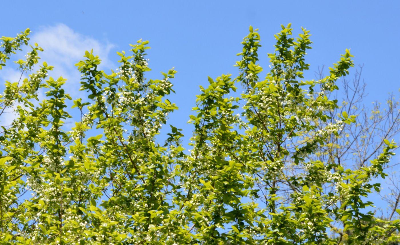 濒危植物秤锤树_图1-18