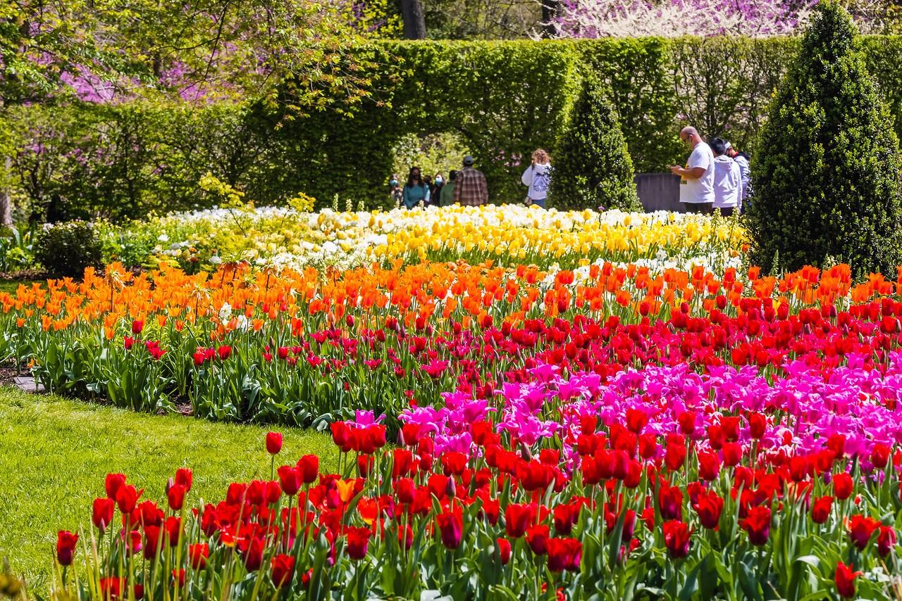 宾州长木公园,多彩的郁金香_图1-5