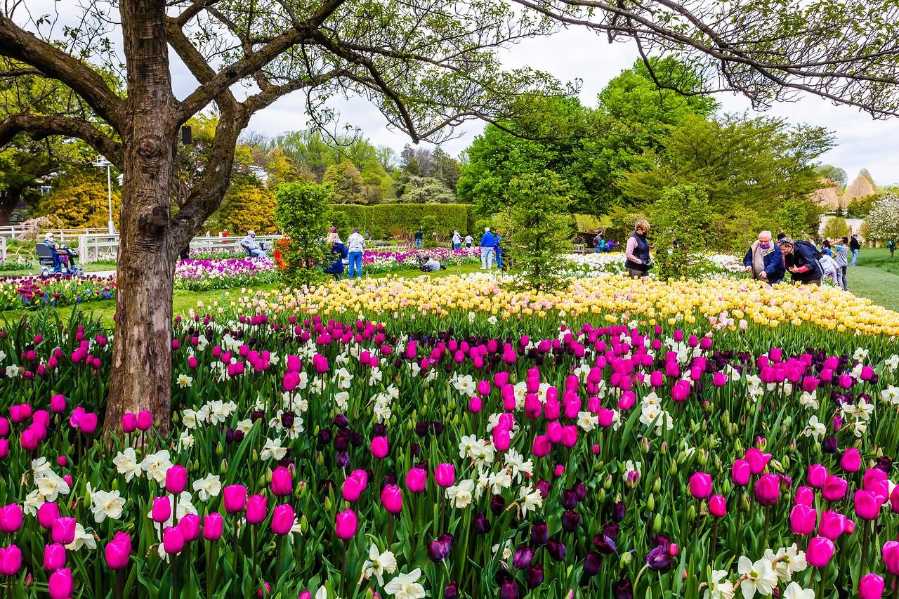 宾州长木公园,多彩的郁金香_图1-3