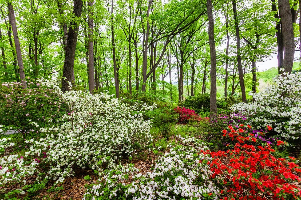 滨州詹金斯植物园(Jenkins Arboretum),满眼杜鹃花_图1-11