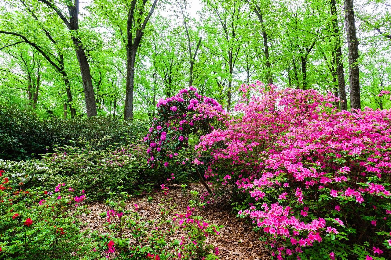 滨州詹金斯植物园(Jenkins Arboretum),满眼杜鹃花_图1-13