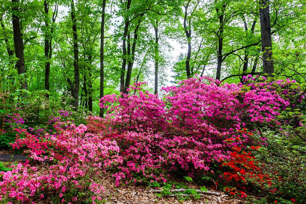 滨州詹金斯植物园(Jenkins Arboretum),满眼杜鹃花_图1-14