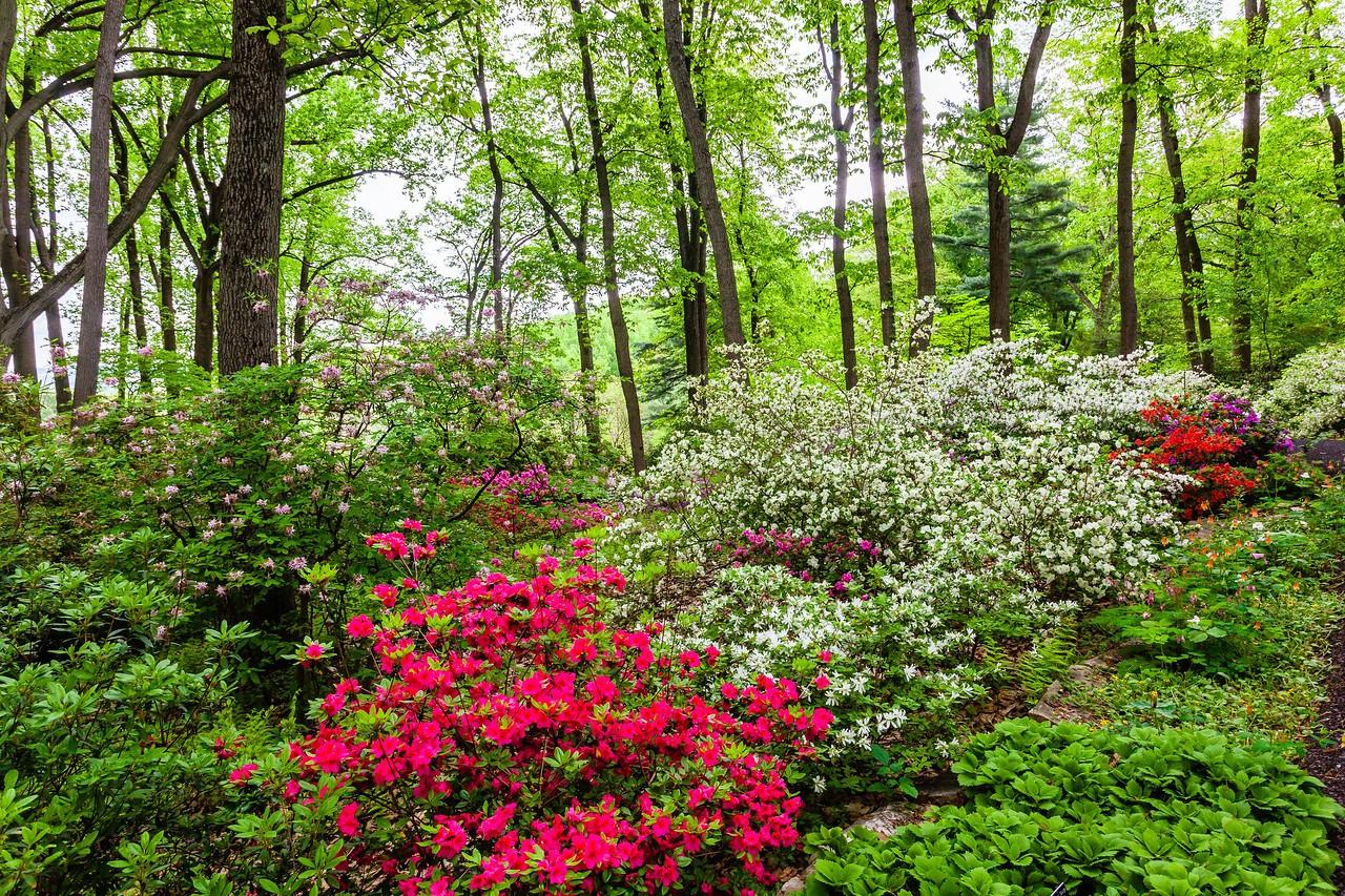 滨州詹金斯植物园(Jenkins Arboretum),满眼杜鹃花_图1-9