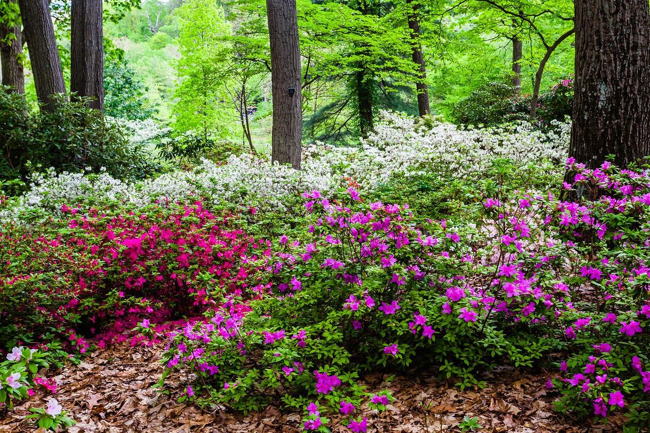 滨州詹金斯植物园(Jenkins Arboretum),满眼杜鹃花_图1-15