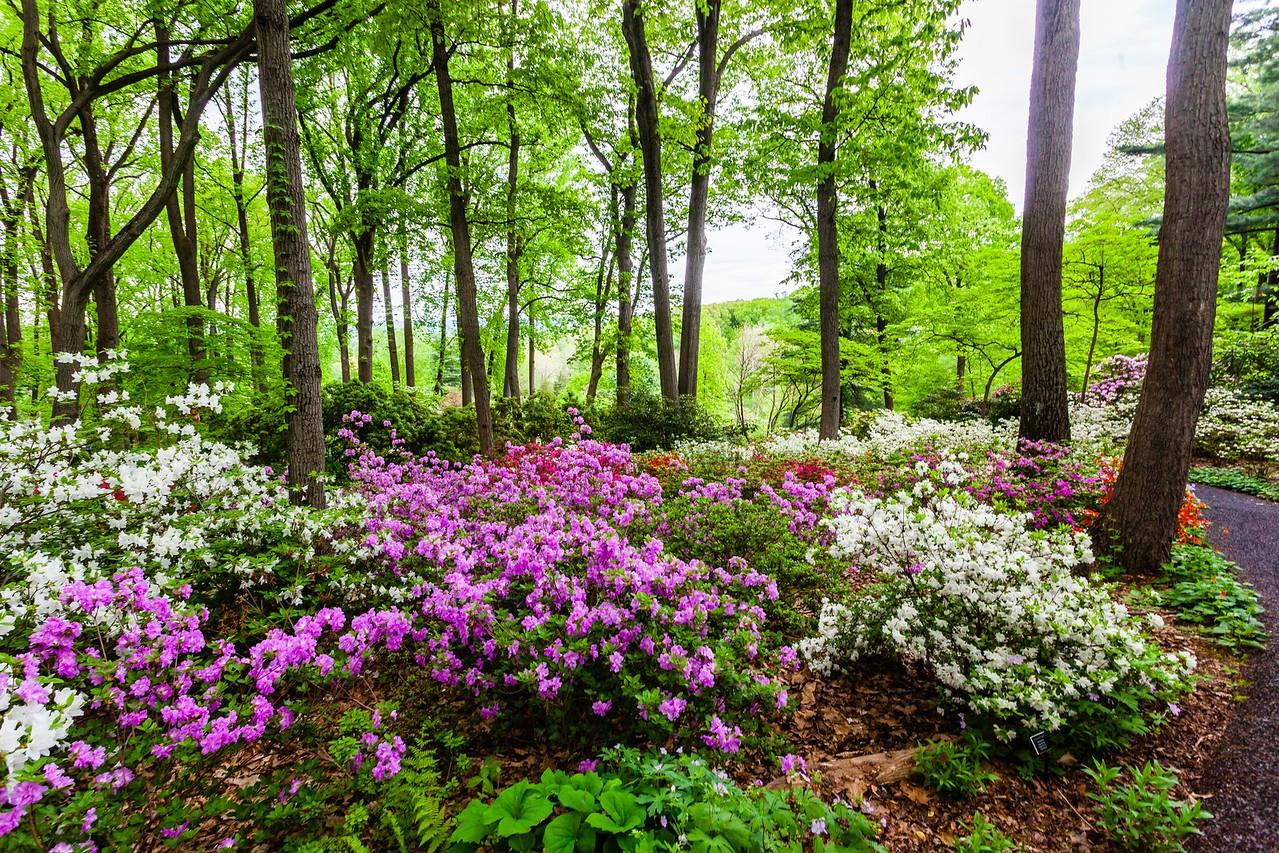 滨州詹金斯植物园(Jenkins Arboretum),满眼杜鹃花_图1-10