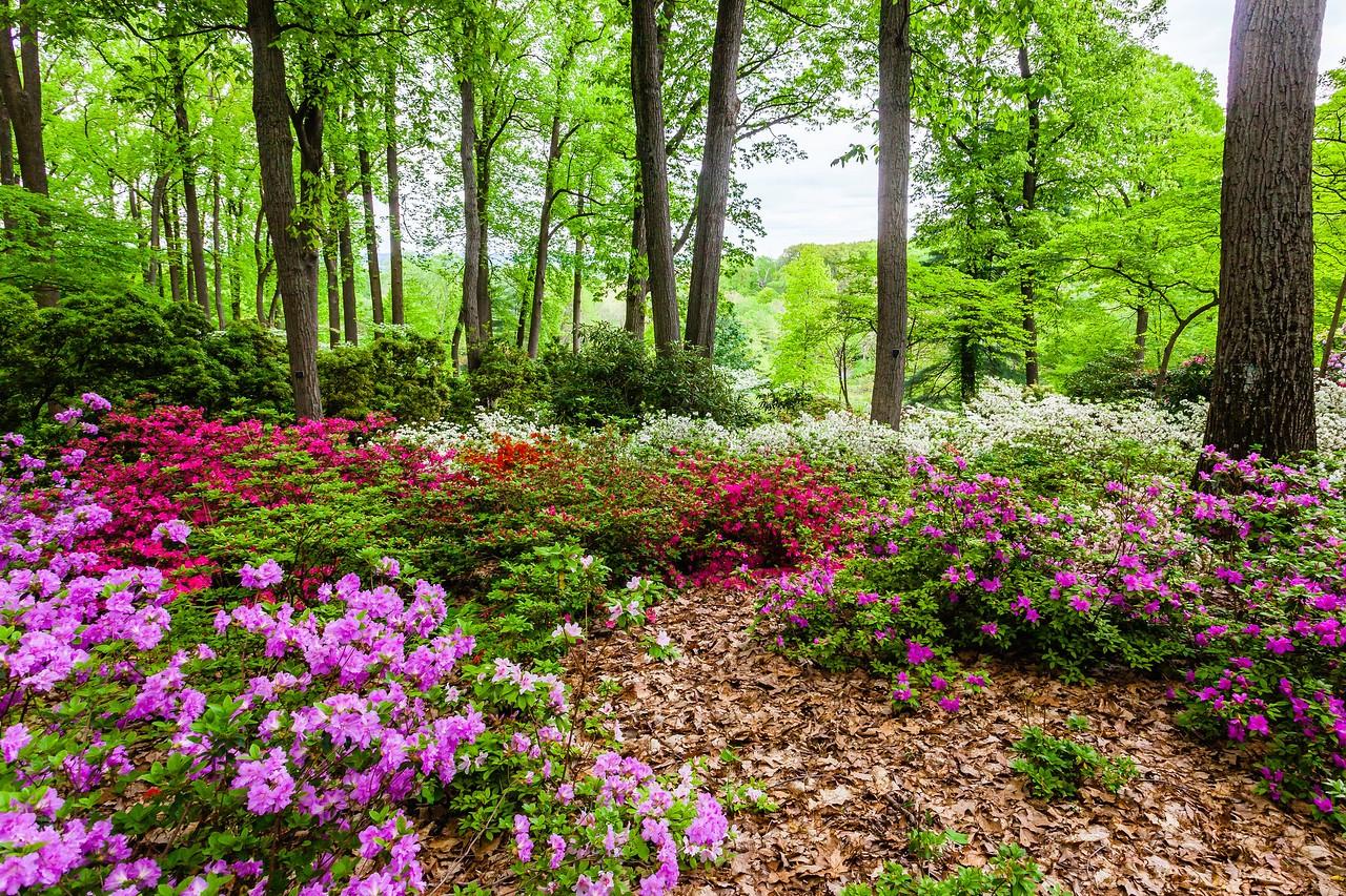 滨州詹金斯植物园(Jenkins Arboretum),满眼杜鹃花_图1-12