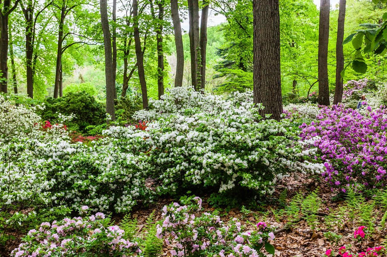 滨州詹金斯植物园(Jenkins Arboretum),满眼杜鹃花_图1-3