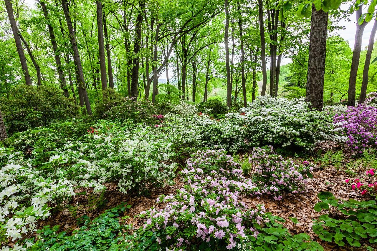 滨州詹金斯植物园(Jenkins Arboretum),满眼杜鹃花_图1-2
