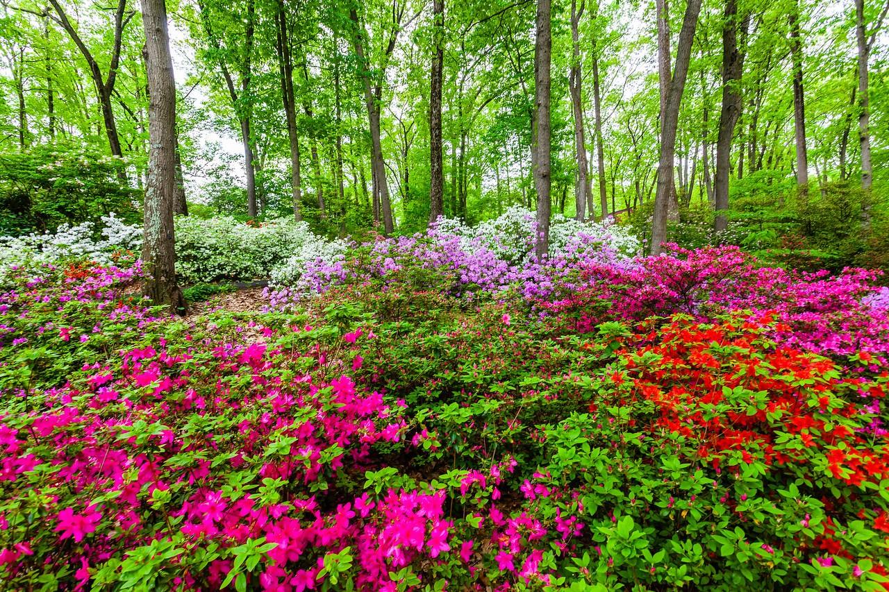 滨州詹金斯植物园(Jenkins Arboretum),满眼杜鹃花_图1-1